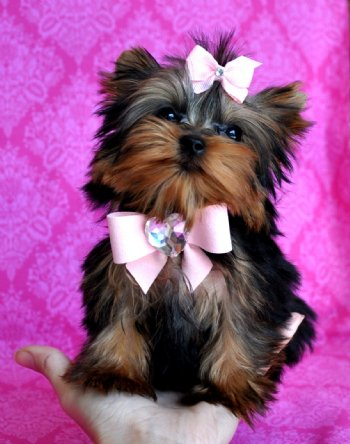 Micro Teacup Yorkie Puppies For Xmas In San Antonio Tx Pets For