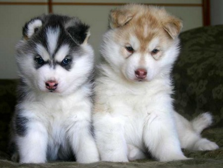 Puppies For Sale In Albuquerque >> Cute Adorable Siberian Husky Puppies For Adoption In