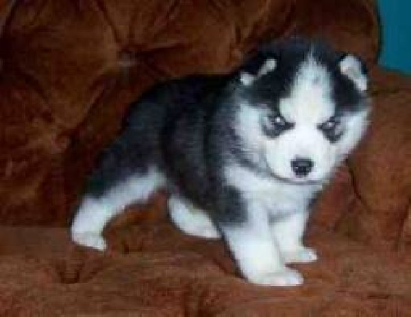 Cute And Loving Siberian Husky Puppies For Adoption In Memphis Tn