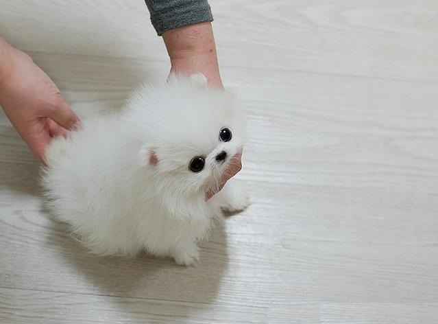 Beautiful Micro Poms Available $ 500 in Houston TX Pets - For Sale