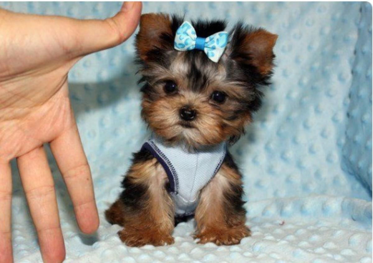 Super Tiny Yorkie Puppies In Charlotte Nc Pets For Sale Locopostcom